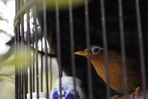 生棒鸟食手工作坊 画眉怎么养 三招教你养好画眉生鸟